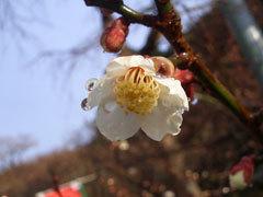 Dazaifu_flower